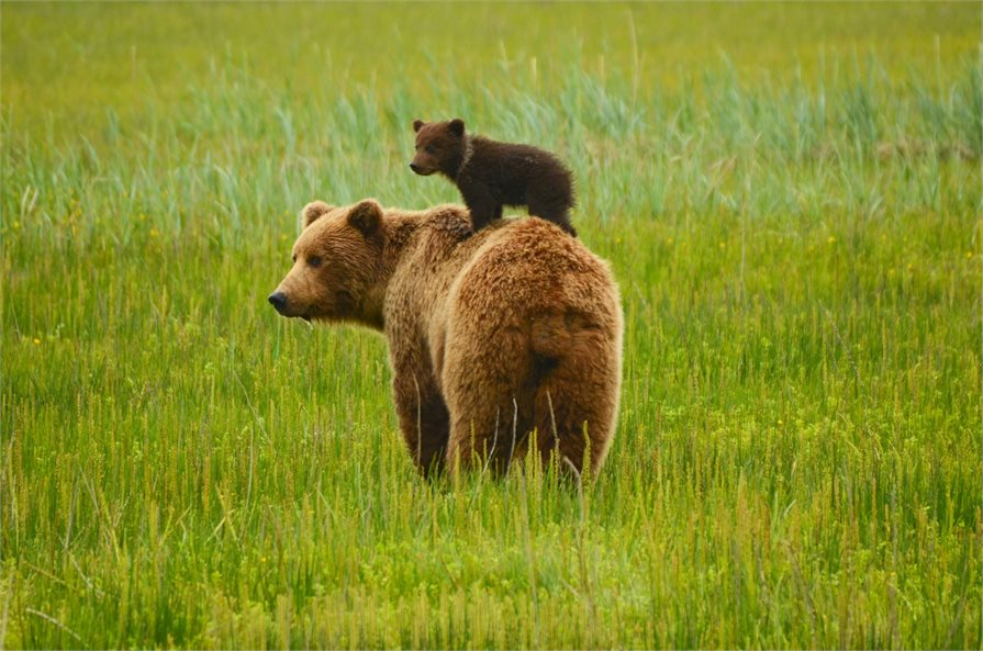 Baby bear standing on top of a large brown bear