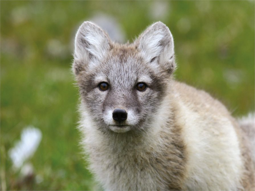 Arctic Fox (Quark)
