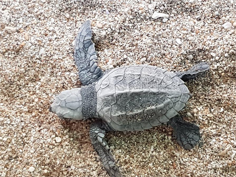 Baby turtle Kuta Beach Bali