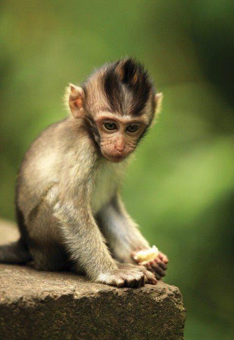Baby Monkey in the Monkey Forest Ubud