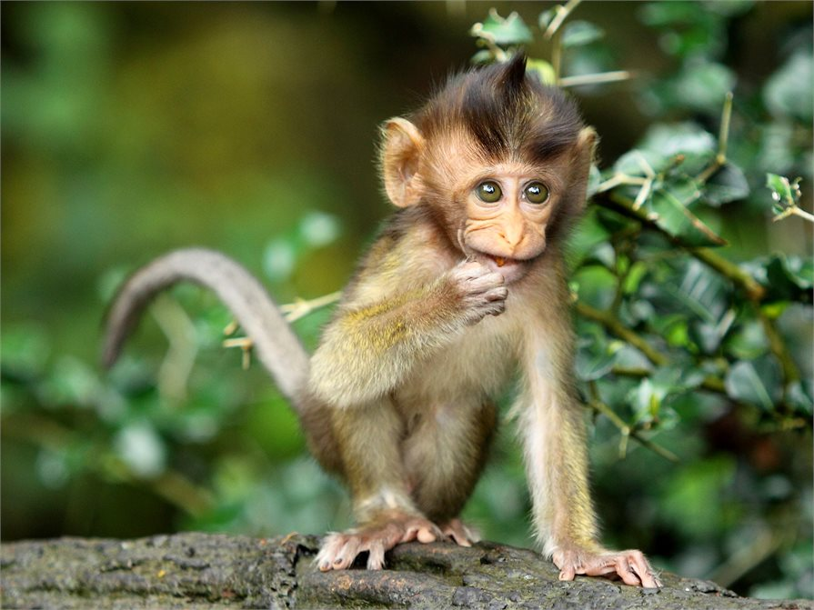Monkey in the Monkey Forest Ubud Bali