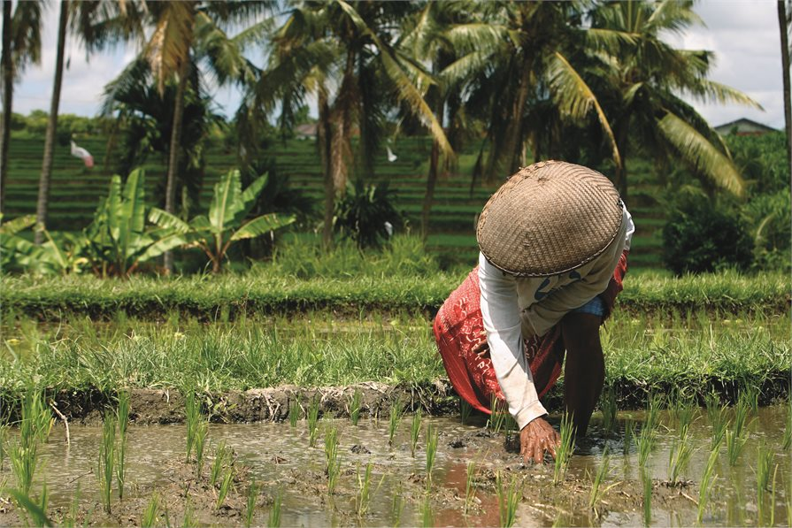 Local woman on the rice terraces Ubud Bali