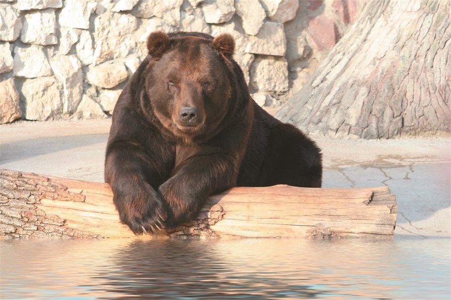Bear leaning on log