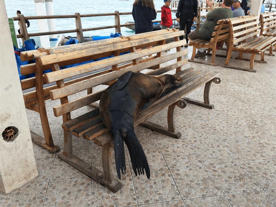 Sleeping seal on a bench Galapagos Islands
