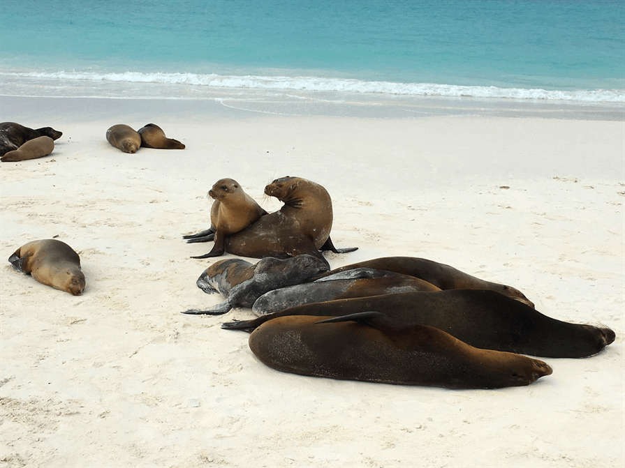 Seals on the shoreline Galapagos Islands